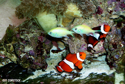 chromis_clown.jpg