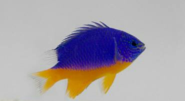 fish-hemicyaneadamsel-1.jpg