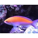 Bicolor Anthias