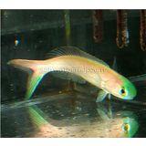 Chameleon Tilefish