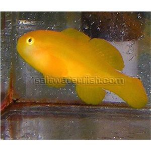 Clown Goby - Yellow
