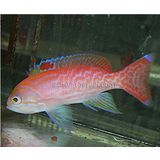 Bimaculatus Anthias - Male