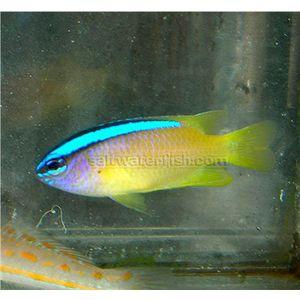 Blue Back Damsel