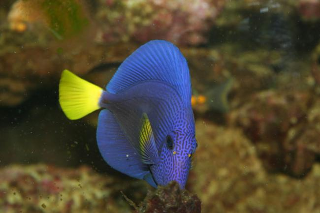 My purple tang had ick now its gone saltwaterfish forum for What is ick in fish