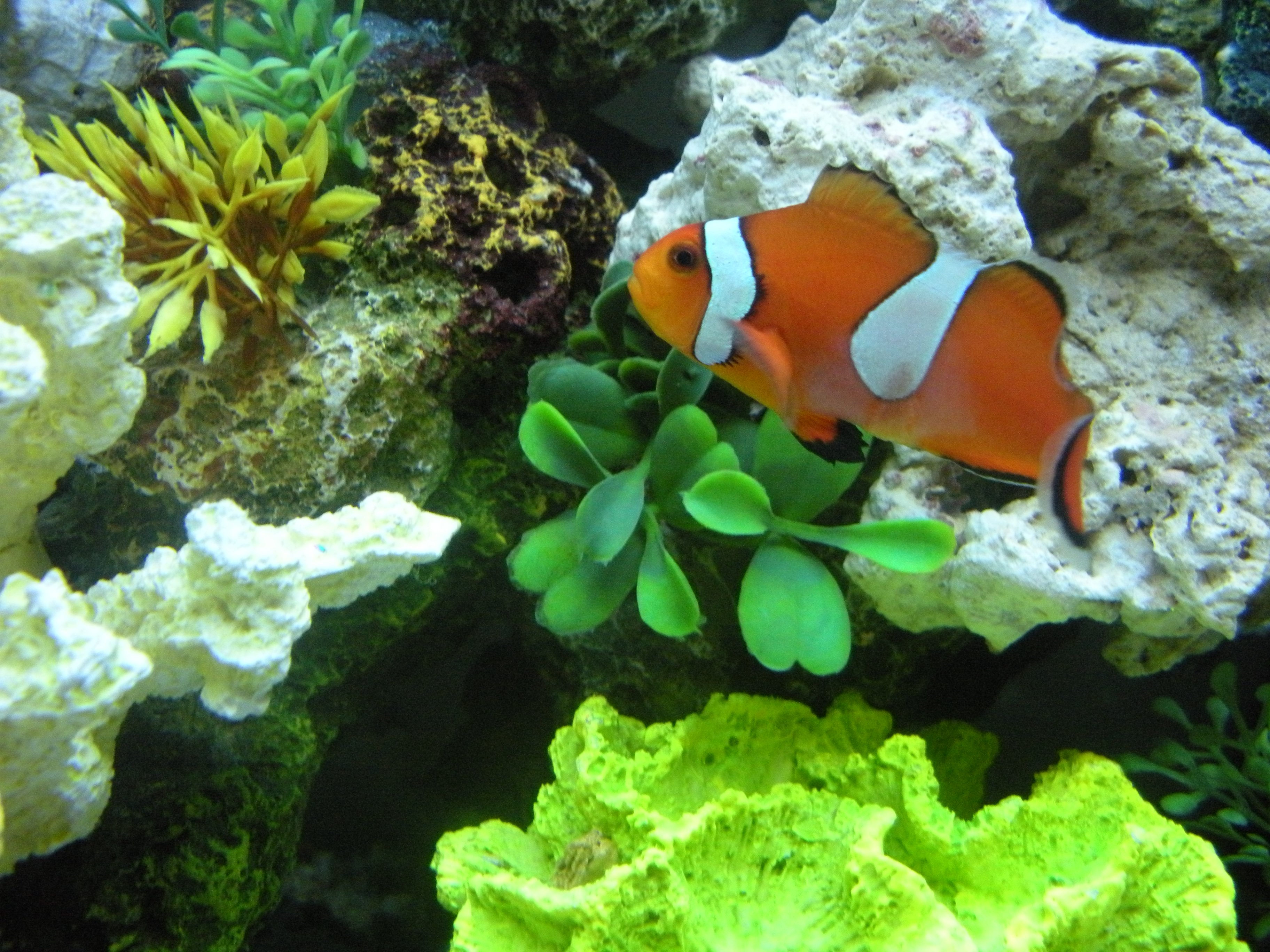 New clownfish not eating abdomen discoloration for What do clown fish eat