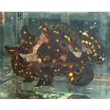 Frogfish - Black & Gold