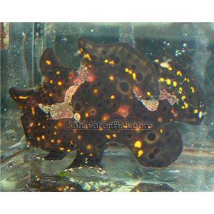 Frogfish - Black & Gold