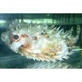 Bridled Burrfish Puffer