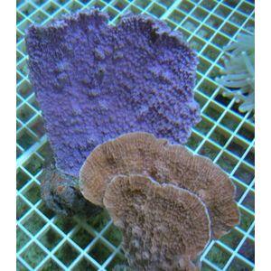 Aquacultured Montipora