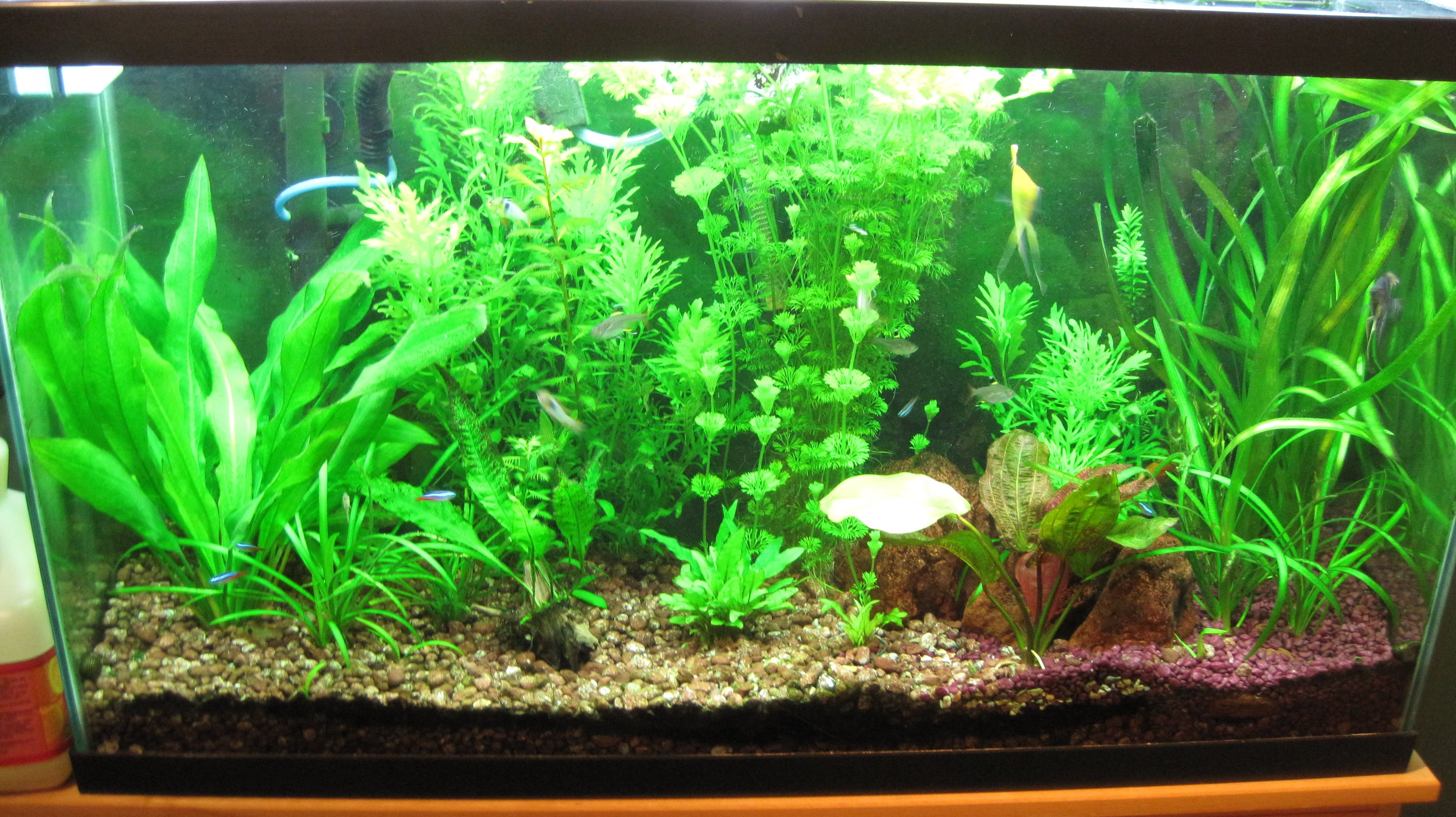 fresh water planted tank just sharing forums for fish lovers. Black Bedroom Furniture Sets. Home Design Ideas