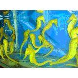 Seahorse - Aquacultured Yellow Reidi