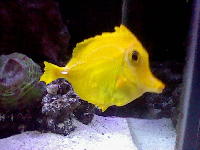 Yellow Tang Fin Loss Saltwaterfish Forum