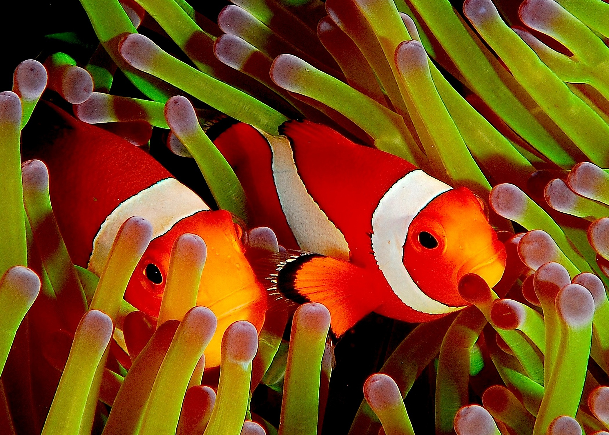 Tyler 39 s 34 gallon red sea max tank diary saltwaterfish forum for Pictures of clown fish