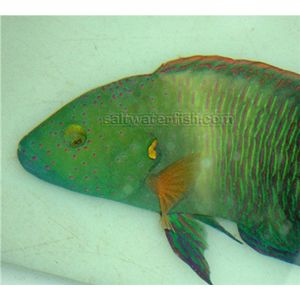 Broomtail Wrasse - Red Sea