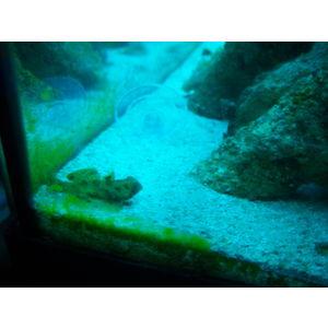 ORA Aquacultured Mandarin Dragonet - Spotted