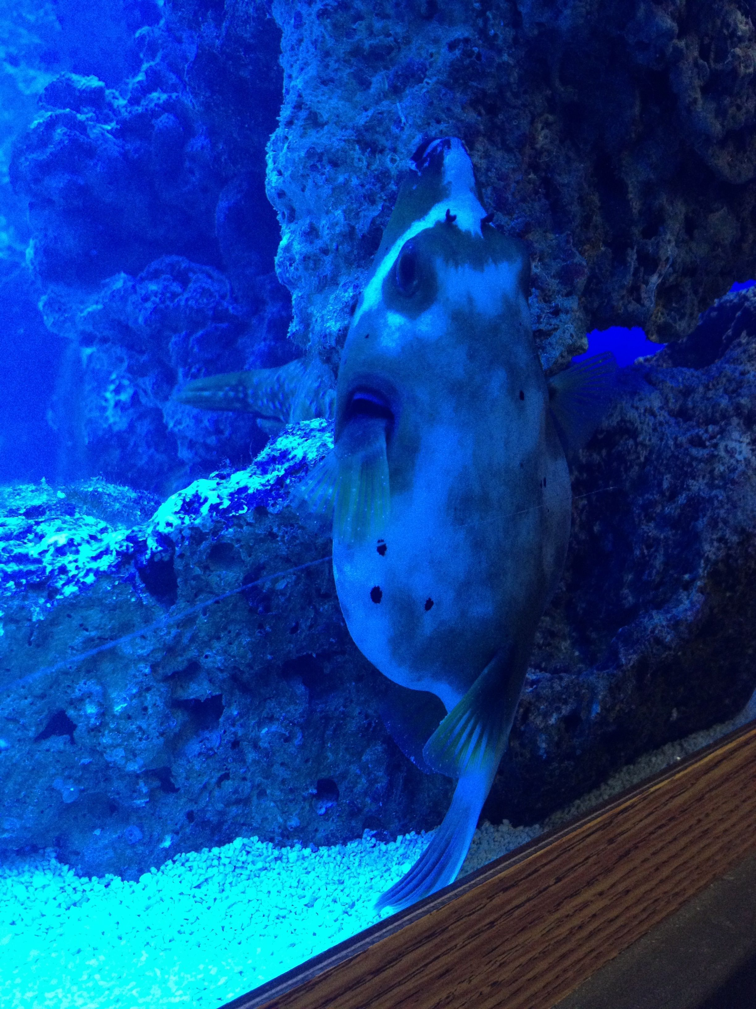Dog Face Puffer acting really werid!!!! | Saltwaterfish com