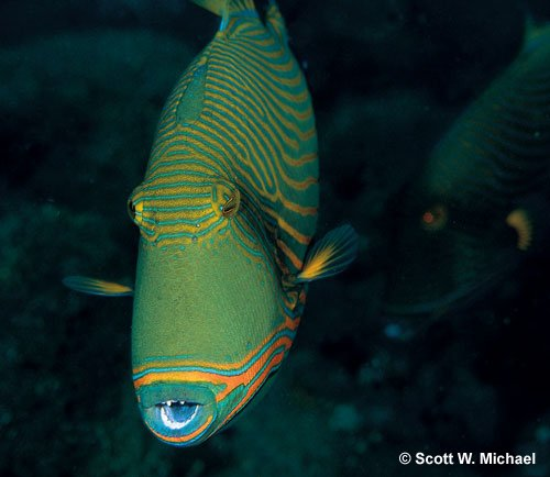undulated triggers saltwaterfish com forums for fish lovers