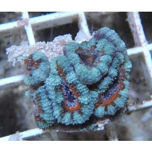 Australian Acanthastrea Lordhowensis