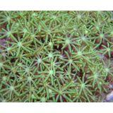 Green Star Polyp - Large