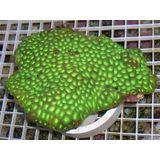 Brain Coral - Favites Lime Green
