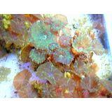 Mushroom Coral - Assorted