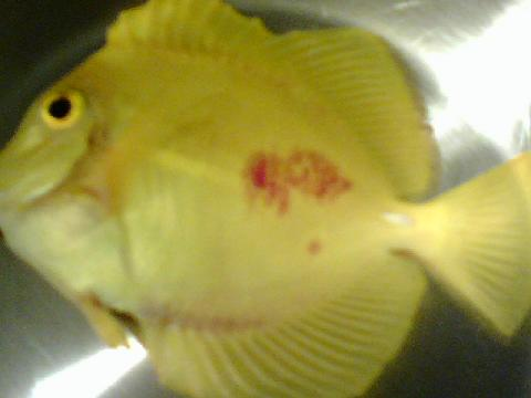 Yellow tang with bacterial infection saltwaterfish forum for Fish bacterial infection