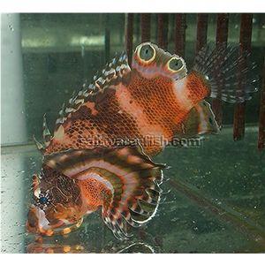Fu Man Chu Lionfish - Venomous