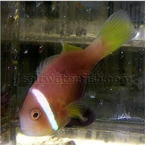 Black-footed Clownfish