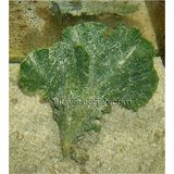 Blade Plant - Group of 5