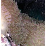 Atlantic Carpet Anemone