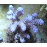 Maricultured Millepora - Turquoise