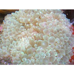 Bubble Tip Anemone - Green Tip
