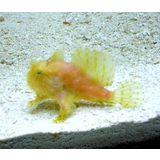 Frogfish - Antennarius sp.