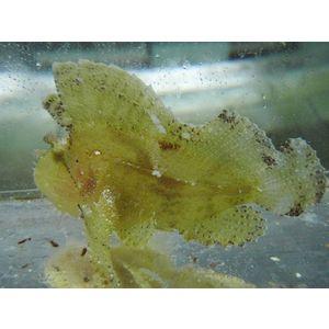 Leaf Fish Yellow  - Hawaii