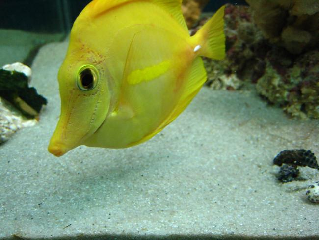 Yellow tang with hlle and bacterial infection for Fish bacterial infection