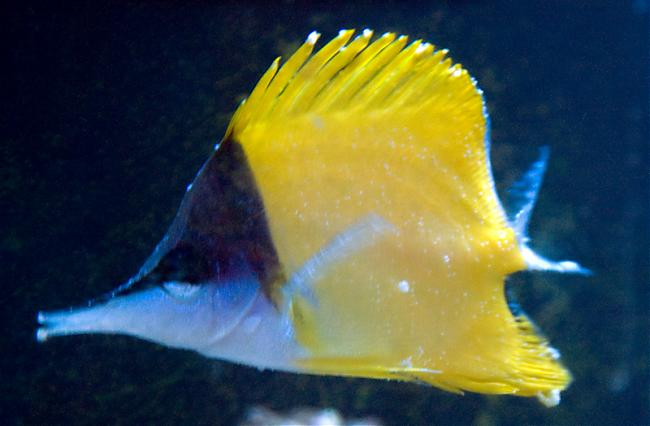Longnose Butterfly with Lymphocystis :( | Saltwaterfish ...