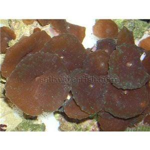 Mushroom Coral - Chocolate