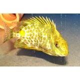 Golden Rabbitfish - Venomous