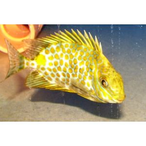 Golden Rabbitfish - Venomous
