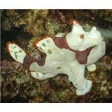 Frogfish - White