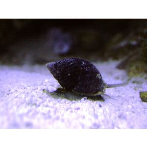 Nassarius Snail - Group of 10