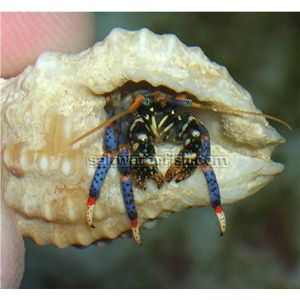 Blue Leg Hermit Crab - Group of 10