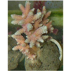Aquacultured Millepora - Pink