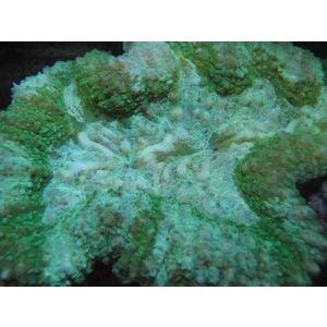 Brain Coral - Lobo Green