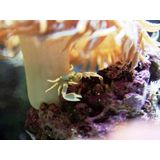 Anemone Crab - Caribbean