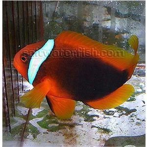 Cinnamon Clownfish - Wild