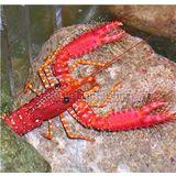 Red Reef Lobster