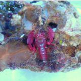 Caribbean Red Shrimp