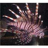 Volitan Lionfish - Venomous Large
