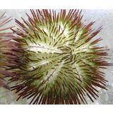 Rainbow Pincushion Urchin